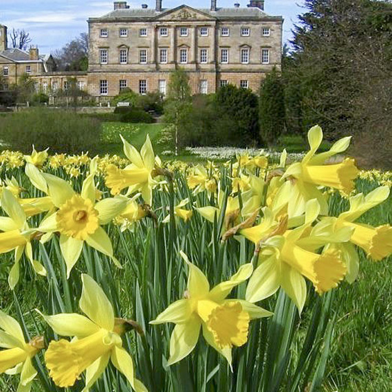 daffodils at Howick Hall