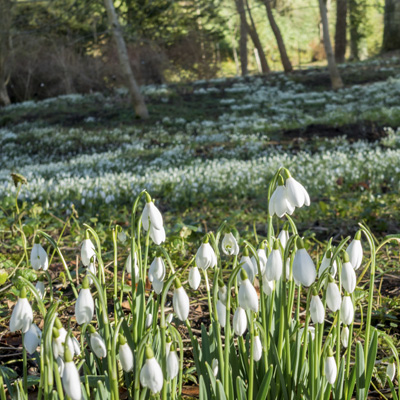 Howick Hall Snowdrop walks