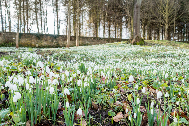 Snowdrop Walks in Northumberland, Howick Hall Snowdrop Festival